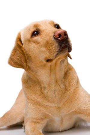 cream labrador retriever of white background Stock Photo - 4479059