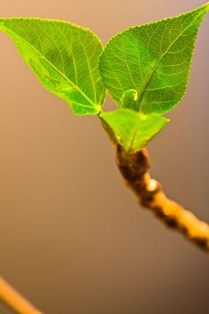 dissolved: germogliare, primavera foglio verde