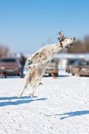 Jumping dog of breed an English setter Stock Photo