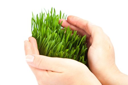Women hands protect sprouts green grass on white background isolated