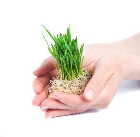 Green grass in women hands Standard-Bild