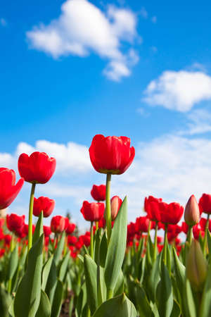 Red tulips on blue sky with clouds