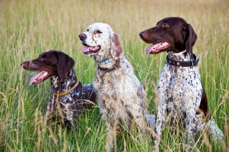 Hunter dogs Stock Photo