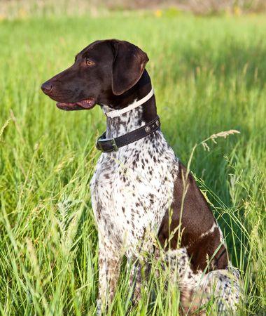 shorthaired: Alem�n shorthaired puntero perro sentado en el campo