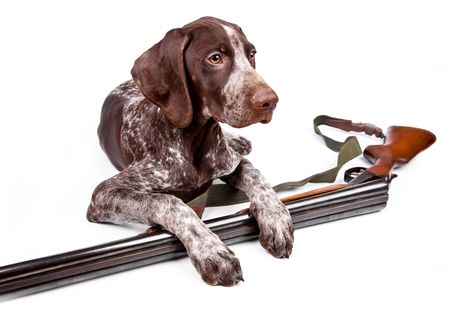 Hunting dog with a gun on a white background Stock Photo
