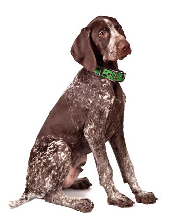 German shorthaired pointer sits on white photo