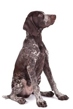German shorthaired pointer sits on white