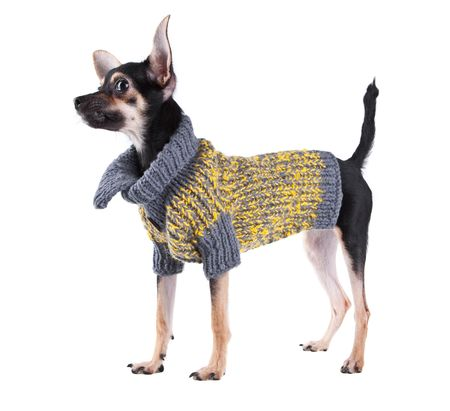 seasonal clothes: Small dog toy terrier in clothes isolated on white
