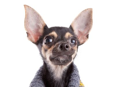 Head Small dog toy terrier in clothes isolated on white photo