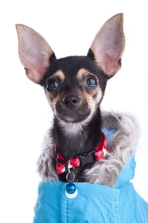 Small dog toy terrier in Jacket with a hood isolated on white photo