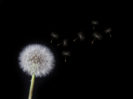 Dandelion Loosing Seeds in the Wind photo