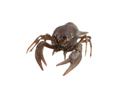 fluvial: Crayfish isolated on white
