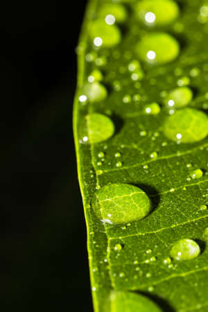 reflection of life: water drops on green leaf on black background  Stock Photo