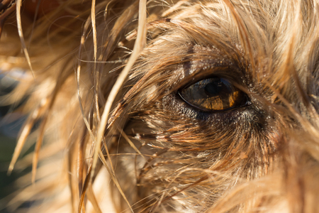 beagle terrier: dogs eye macro detail, Yorkshire Terrier brown dog close-up With wet hair