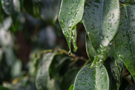 close-up raindrop falling on green leaf of Ficus benjamina raindrops in detail Stock Photo