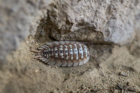 Oniscidae Oniscidea Armadillidium vulgare, terrestrial crustacean over sand, In its habitat of humidity and darkness Stock Photo