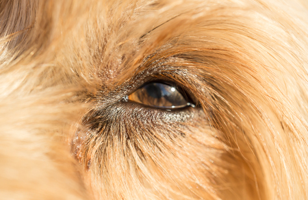 beagle terrier: Cute dog eye looking up Loving little dog look Yorkshire Terrier brown hair Stock Photo