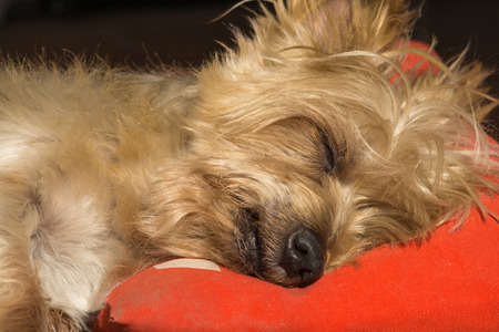 surprised dog: Detail of dog nose and snout, Cute Doggy Sleeping soundly with his head on a pillow. Yorkshire Terrier brown doggie warm in the sun. Macro Closeup Stock Photo