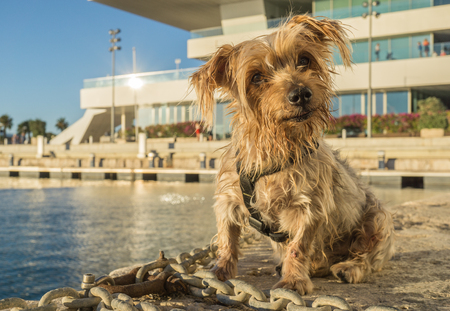 surprised dog: Expressive dog seated. Doggy with curiosity expression doggie tilting his head and raising his ears. Yorkshire Terrier brown dog warm in the sun. Blurry background of a harbor and the sea