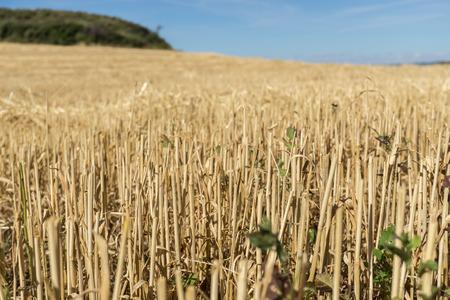 Wheat harvest field. Remnants of wheat already cut