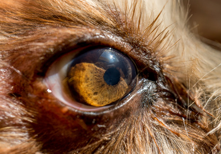 dogs eye macro detail, Yorkshire Terrier brown dog close-up Yorkshire Terrier brown color doggie. Expressive doggy look