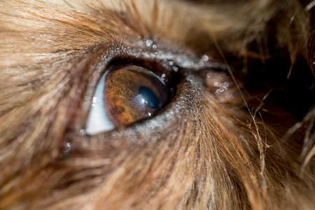 beagle terrier: dogs eye macro detail, Yorkshire Terrier brown dog close-up Yorkshire Terrier brown color doggie. Expressive doggy look