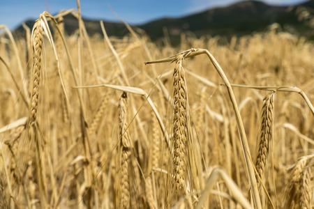 Weizen Ernte Feld, Saatgold Farbe Pflanzen. Berglandschaft