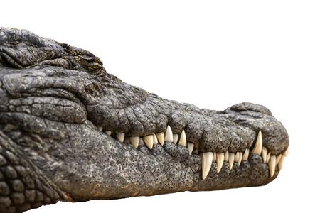 나일 악어 Crocodylus niloticus, 나 일 강 악어의 근접 세부 사항 닫힌 된 눈, 위험한 프레데터의 날카로운 이빨 격리 된 흰색 배경, 스톡 콘텐츠