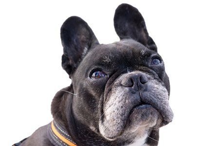 frenchie: Black french bulldog, looking up pitiful. Big funny ears turning the head, asking for food. Isolated white background Stock Photo