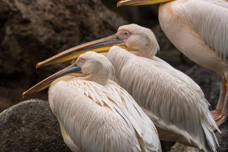 Group of pelican resting on a lake Pelecanus philippensis Stock Photo