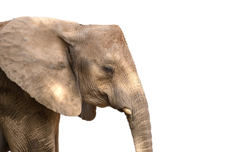 elf's: African elephant head with square angular shape, With cut elfs tusks. Isolated on white background Stock Photo