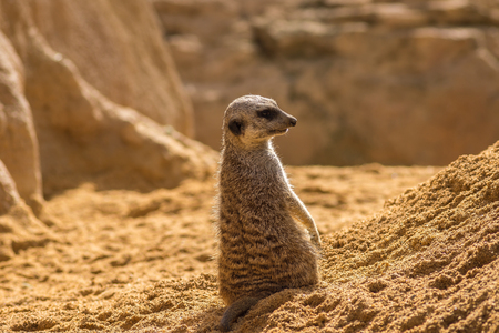 Meerkat standing looking at the horizon on guard curious gesture, with Warm colors and sunlight, suricate, Suricata, suricatta Stock Photo