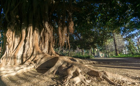 Aerial roots Banyan tree Ficus benghalensis Magnificent trees. Old tree roots simulating a hand Jardines del Real, Walk in-between trees Viveros Valencia, near old dry riverbed of the River Turia Stock Photo