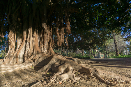 Aerial roots Banyan tree Ficus benghalensis. Old tree roots simulating a hand Jardines del Real, Walk in-between trees Viveros Valencia, near old dry riverbed of the River Turia Stock Photo