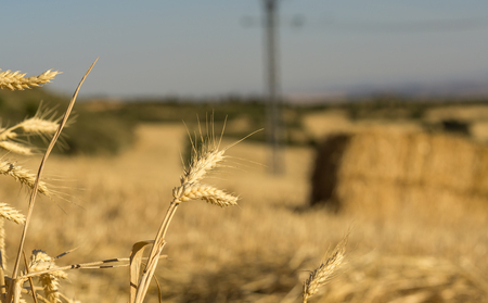 Field landscape countryside, ear of wheat and bales of hay. Wheat harvest field, seed gold color, planting Stock Photo