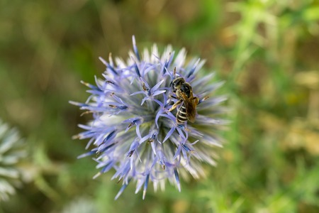 A close up of a bee with her pollen basket full On a flower Jasione montana