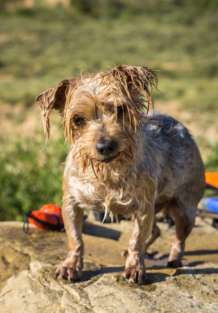 Expressive Dog wet after swimming, blurry background with a water toy. Doggy with curiosity expression. Yorkshire Terrier brown dog