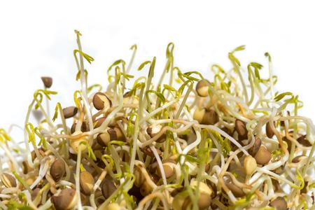 gekeimte Linsensamen isoliert auf weißem Hintergrund, Makro Nahaufnahme von grünen Linsen culinaris Sprossen