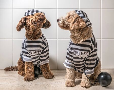 Spanish Water Dog dogs dressed as prisoner jail house rock clothes