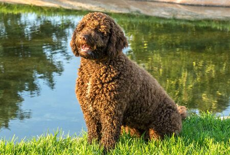 Brown Spanish Water Dog on green grass outdoor