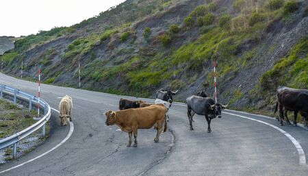 cows standing blocking a road cows on the road dangerous and winding road in the high mountains peaks europe