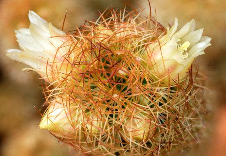cactus small white flower macro detail