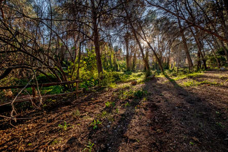 Forest Trees with Sunlight Pouring through at Sunset in the Woods on Ground Illuminating Tree Branches Standard-Bild