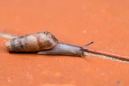 Rumina Decollata macro land snail carnivorous omnivore used for natural control of pests or species pulmonary gastropod mollusk family Subulinidae