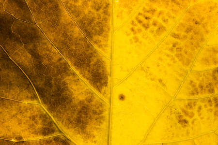 Detail of the backlit texture and pattern of a fig leaf plant, the veins form similar structure to an autumn yellow and orange tree