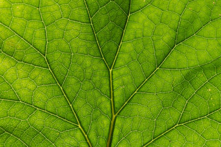 Detail of the backlit texture and pattern of a fig leaf plant, the veins form similar structure to a green tree