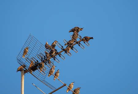 Starling bird rest before migration in an urban environment building tv antenna, Sturnus vulgaris