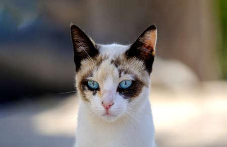 cat portrait defiant look blue eyes blurred background