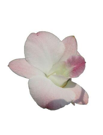 phalaenopsis: orchids