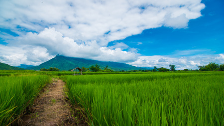 rice field: Thailand rice field and mountian